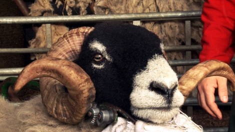 Image of Addicted to Sheep